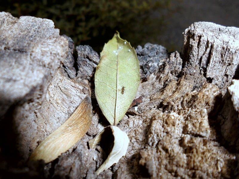 Κορμός, φύλλο, μυρμήγκι στοκ εικόνα