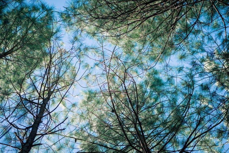 Κορυφές των δέντρων πεύκων ενάντια στο μπλε ουρανό στοκ φωτογραφίες