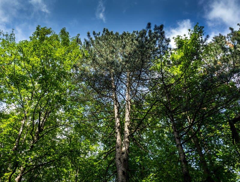 Κορυφές των δέντρων που φωτογραφίζονται από κάτω από στοκ εικόνες