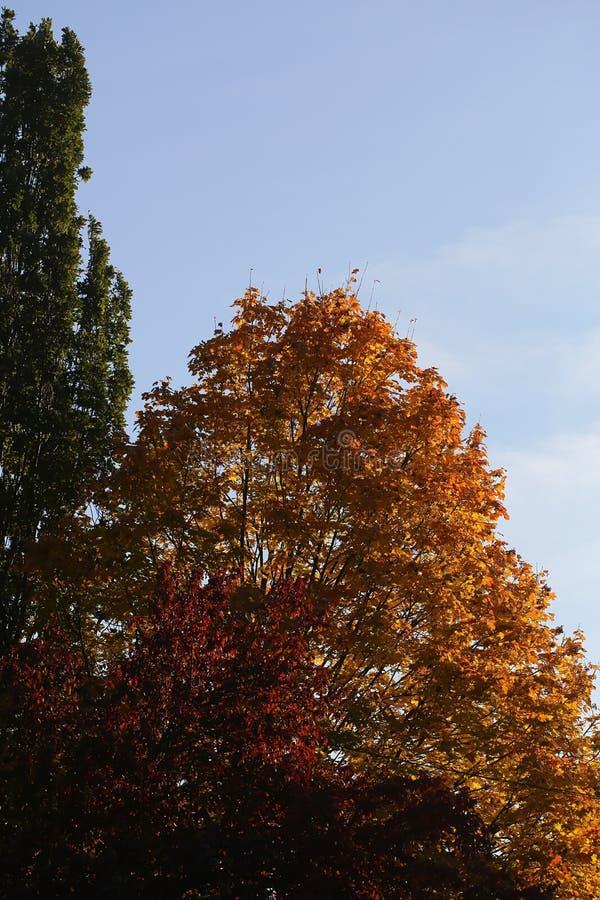 Κορυφές των ζωηρόχρωμων δέντρων φθινοπώρου στοκ εικόνες