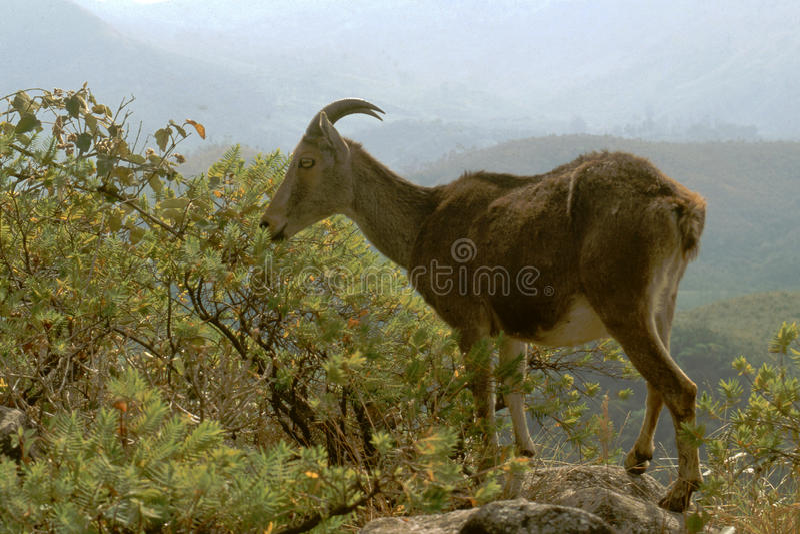 Download κορυφή βράχου nilgiri tahr στοκ εικόνα. εικόνα από πάρκο - 17051211