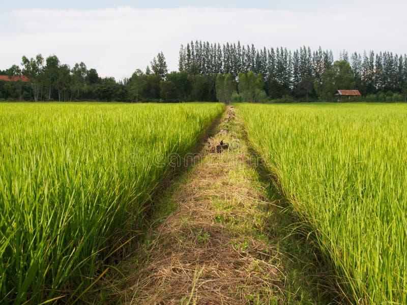 Κορυφογραμμή και ρύζι fram στοκ φωτογραφία