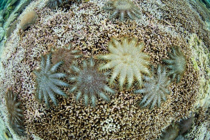 Κορώνα του ξεσπάσματος αστεριών αγκαθιών στην κοραλλιογενή ύφαλο στοκ εικόνα