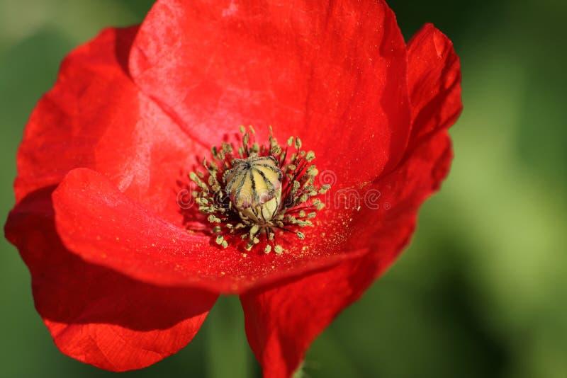 Download κορώνα anemone στοκ εικόνα. εικόνα από βοτανικό, σπόρος - 525887