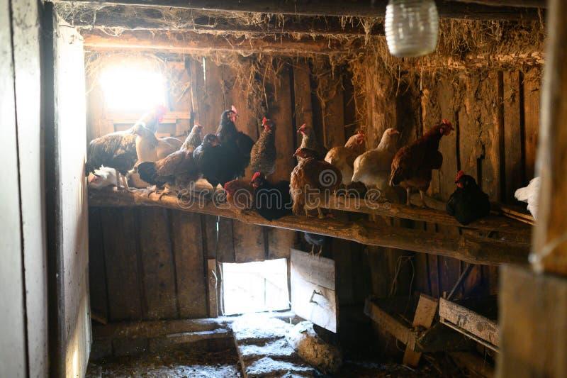 Κοτέτσι κοτόπουλου E Η κότα εκκολάπτει το αυγό στο κοτέτσι που εκκολάπτει το αυγό στοκ φωτογραφία με δικαίωμα ελεύθερης χρήσης