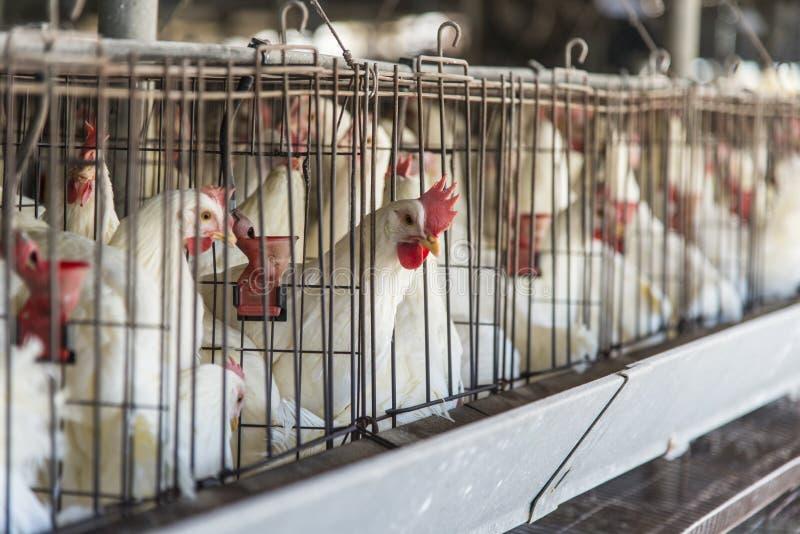Κοτέτσι κοτόπουλου στοκ φωτογραφίες με δικαίωμα ελεύθερης χρήσης