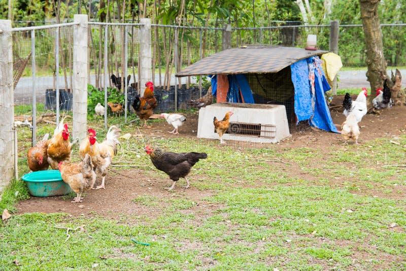 Κοτέτσι κοτόπουλου στοκ εικόνες με δικαίωμα ελεύθερης χρήσης