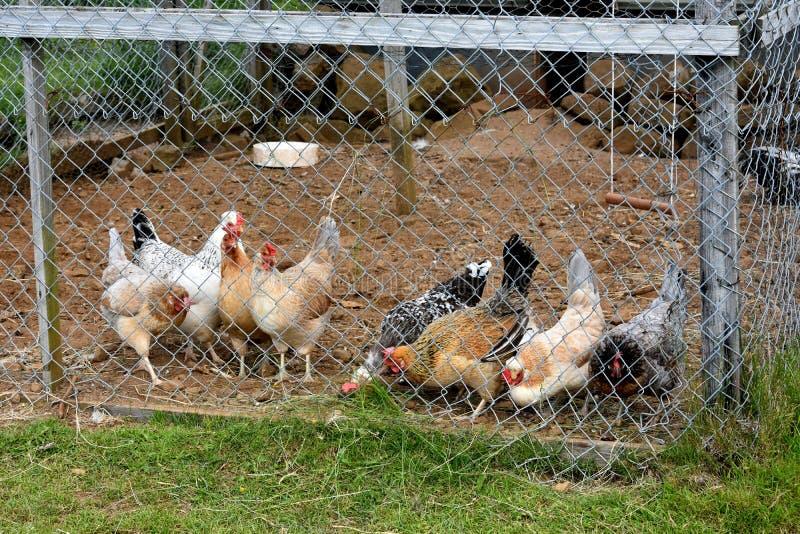 Κοτέτσι κοτόπουλου στοκ εικόνες