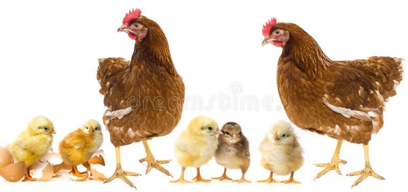 Κοτόπουλα και κότες στοκ εικόνα με δικαίωμα ελεύθερης χρήσης