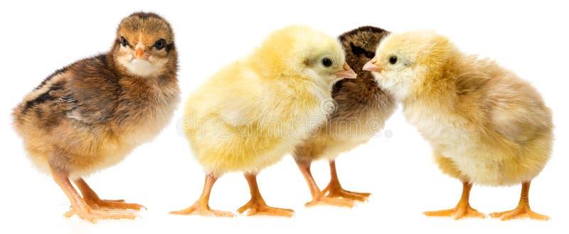 κοτόπουλα που απομονώνονται σε ένα λευκό στοκ φωτογραφίες
