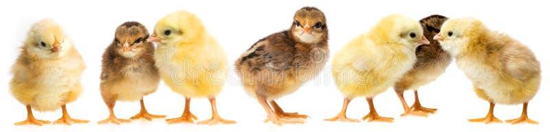 Κοτόπουλα που απομονώνονται σε ένα λευκό στοκ φωτογραφία με δικαίωμα ελεύθερης χρήσης