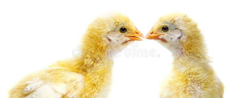 Κοτόπουλα που απομονώνονται χαριτωμένα στο λευκό στοκ εικόνα
