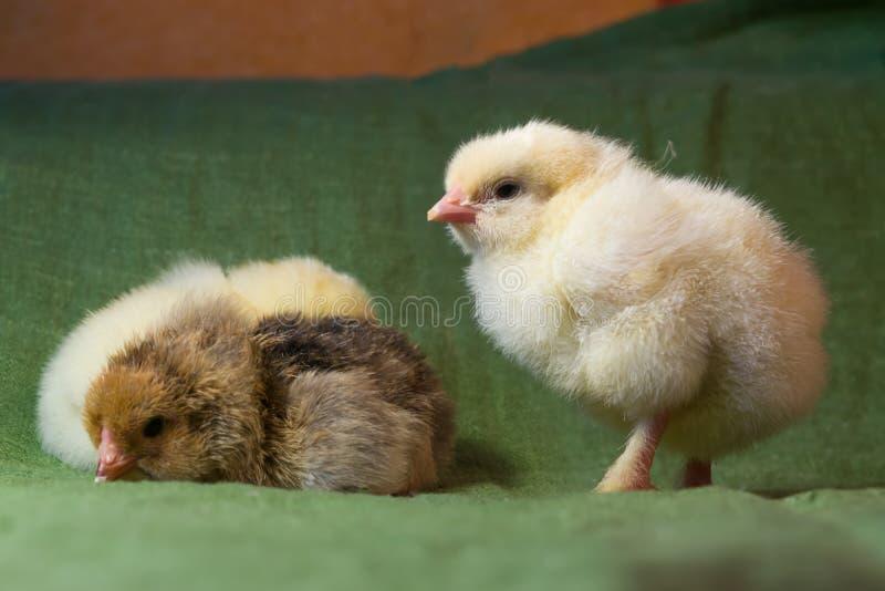 Κοτόπουλα που εκκολάπτονται σε έναν εγχώριο επωαστήρα μια ημέρα πριν, στοκ εικόνα με δικαίωμα ελεύθερης χρήσης