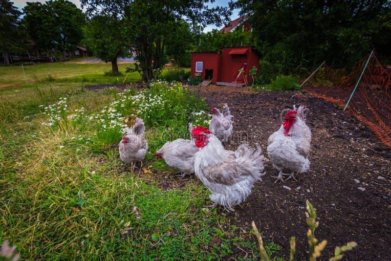 """Κοτόπουλα σε ένα μικρό νησί κατά τη διάρκεια Ï""""Î¿Ï… καλοκαιριού στο σουηδΠστοκ εικόνα"""