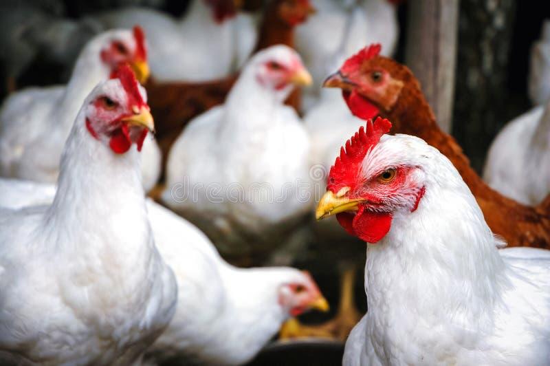 Κοτόπουλα στην Πολωνία στοκ φωτογραφία με δικαίωμα ελεύθερης χρήσης