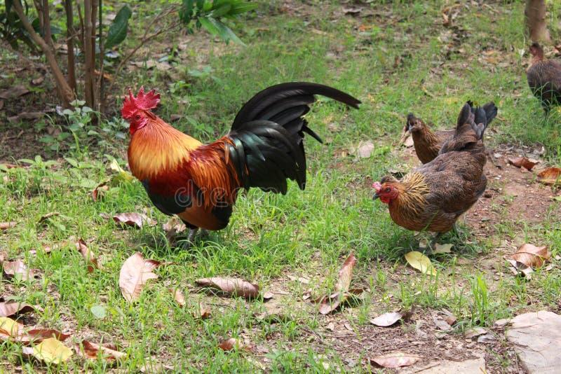 Κοτόπουλα στον κήπο στοκ εικόνες