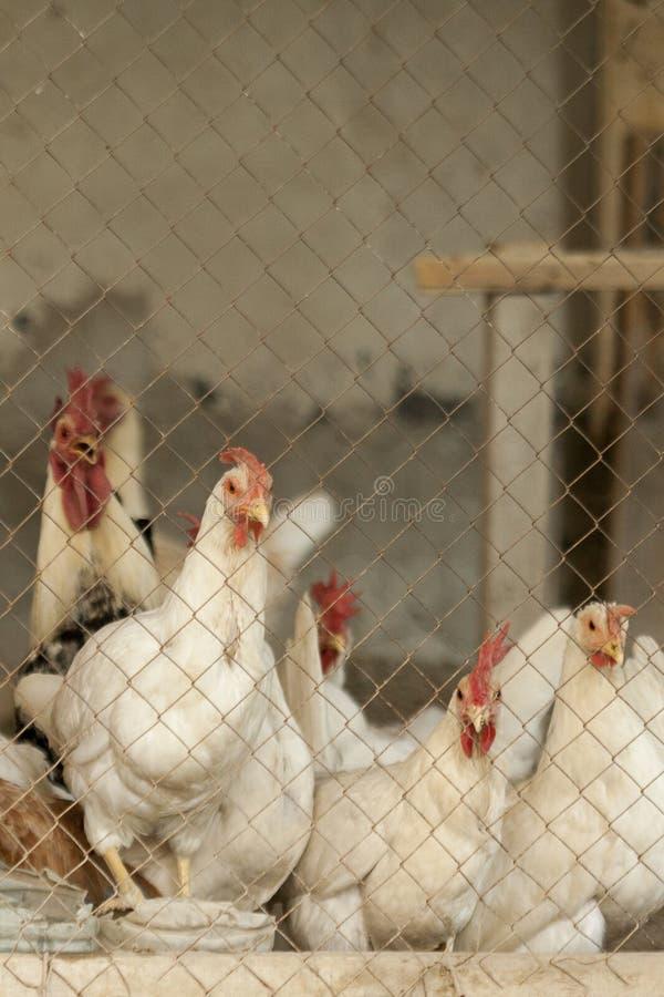 Κοτόπουλα στο κοτέτσι στοκ φωτογραφίες με δικαίωμα ελεύθερης χρήσης
