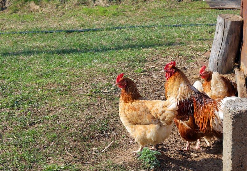 Κοτόπουλο και κόκκορας που περπατούν κάτω από την οδό στοκ φωτογραφίες