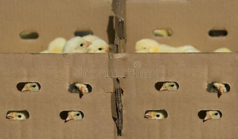 κοτόπουλο κιβωτίων μωρών στοκ εικόνα με δικαίωμα ελεύθερης χρήσης