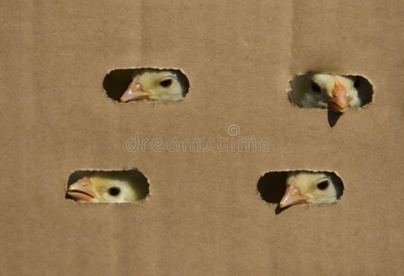 κοτόπουλο κιβωτίων μωρών στοκ εικόνα