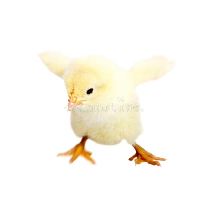 κοτόπουλο μωρών στοκ εικόνα με δικαίωμα ελεύθερης χρήσης