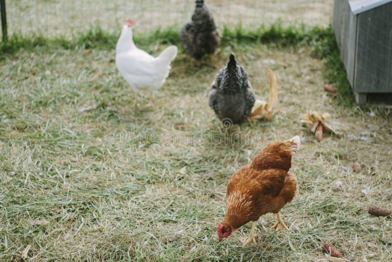 Κοτόπουλο στο κοτέτσι στοκ φωτογραφία
