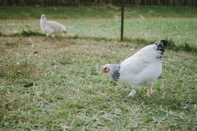 Κοτόπουλο στο κοτέτσι στοκ φωτογραφίες με δικαίωμα ελεύθερης χρήσης
