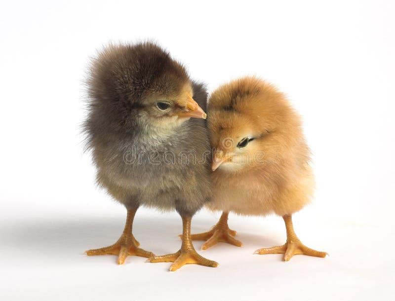 κοτόπουλο χαριτωμένα δύο στοκ φωτογραφίες