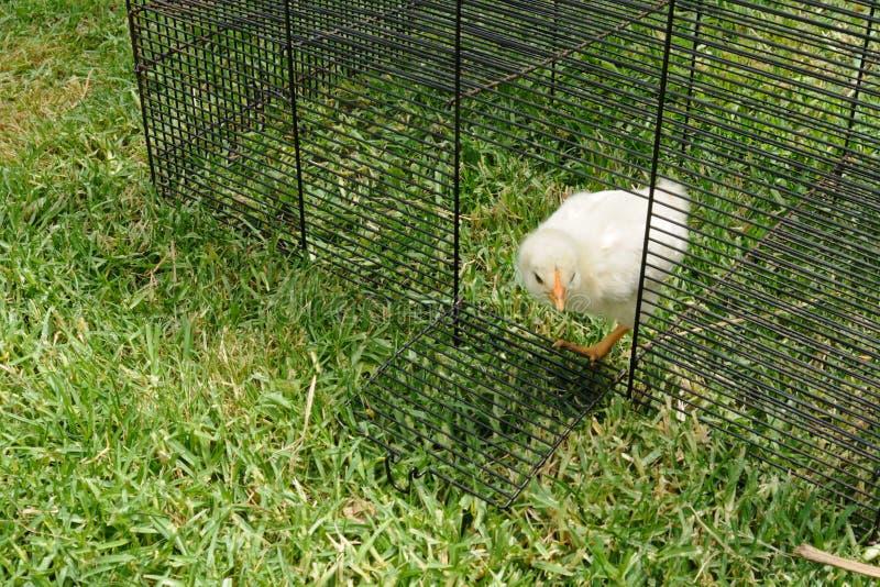 κοτόπουλο χνουδωτό έξω στοκ φωτογραφίες