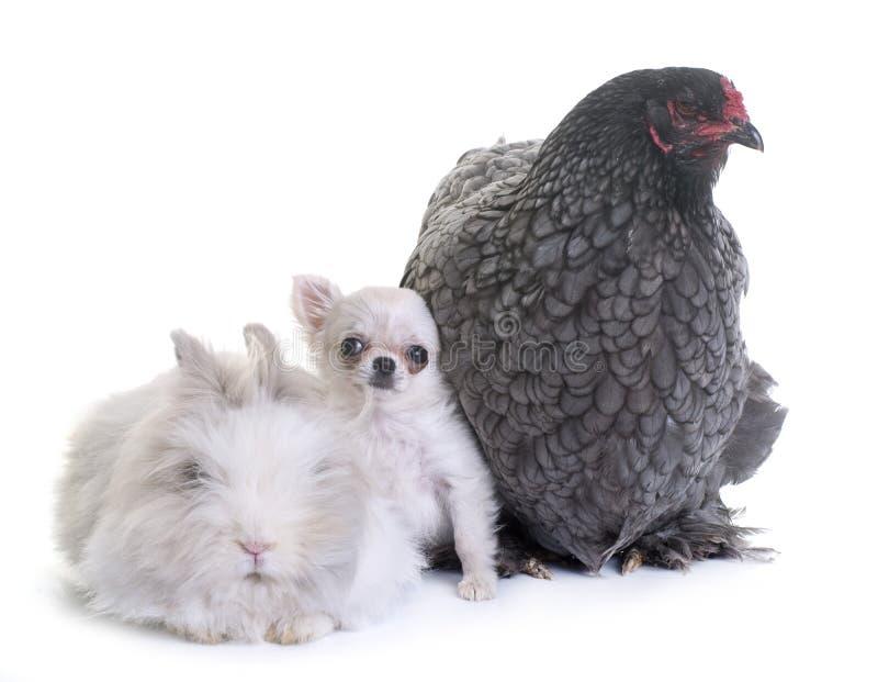 Κοτόπουλο Brahma, λαγουδάκι και chihuahua κουταβιών στοκ εικόνες
