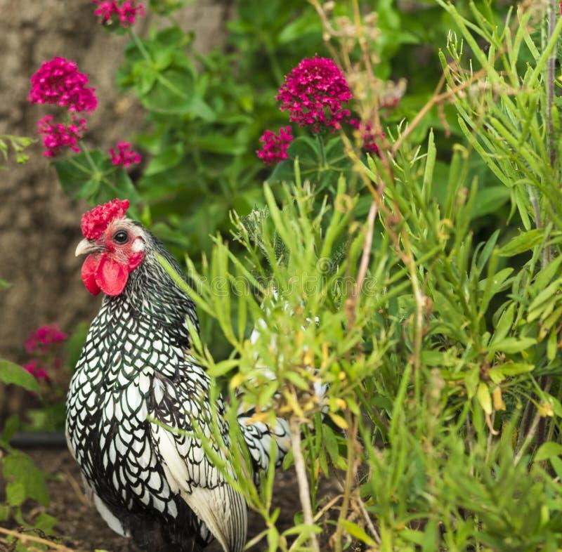Κοτόπουλο Sebright με τα λουλούδια στον κήπο στοκ εικόνες