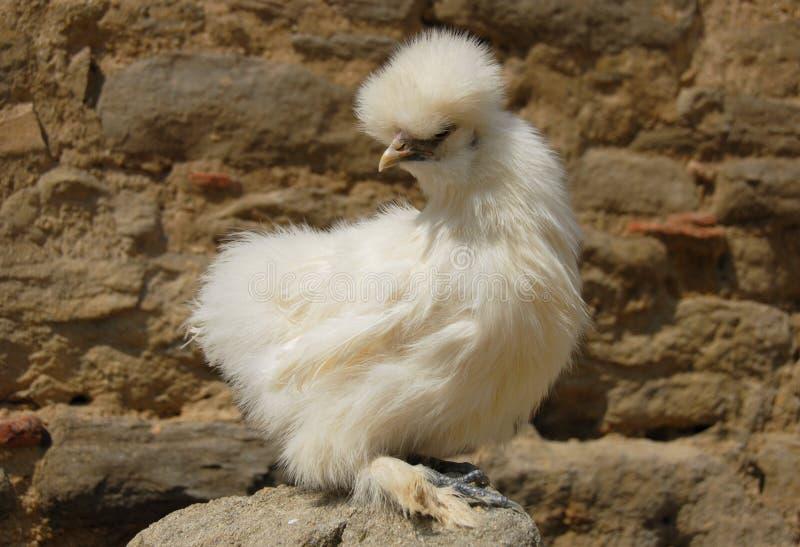 κοτόπουλο silkie στοκ φωτογραφία