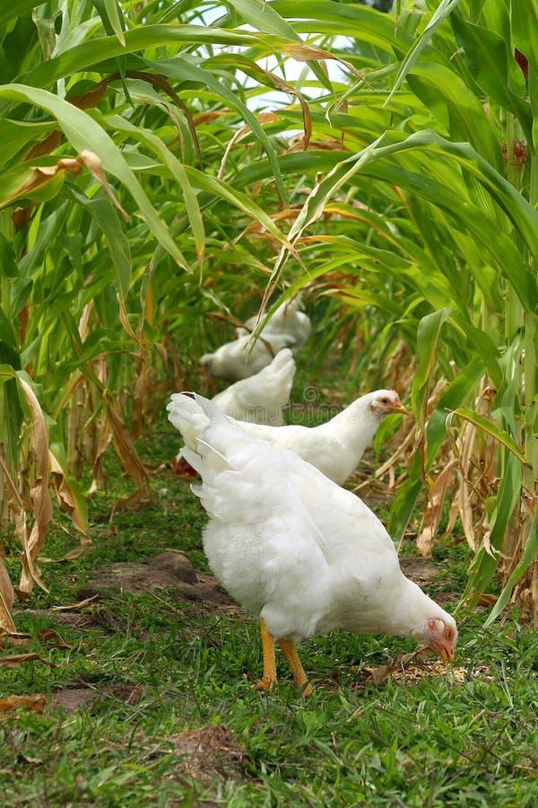Κοτόπουλα κάτω από το θόλο γλυκού καλαμποκιού στοκ φωτογραφία