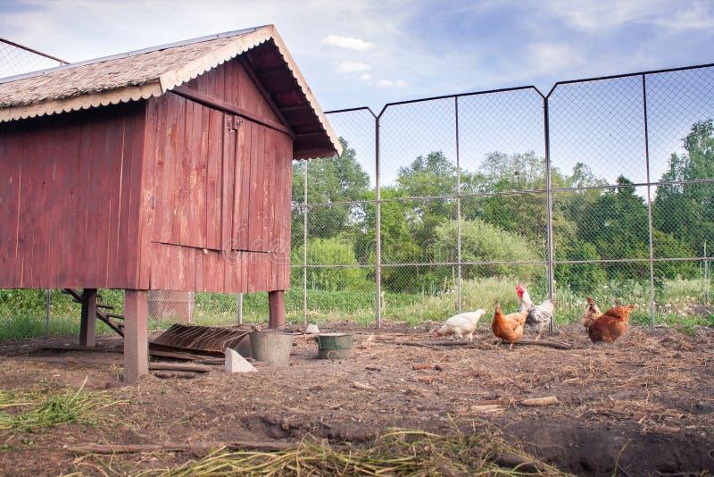 Κοτόπουλα κοντά στο κοτέτσι κοτόπουλού τους στοκ εικόνα
