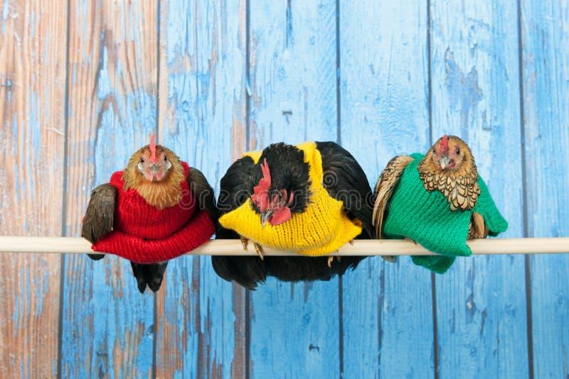 Κοτόπουλα με τα ζωηρόχρωμα πουλόβερ στο κοτέτσι στοκ εικόνα με δικαίωμα ελεύθερης χρήσης