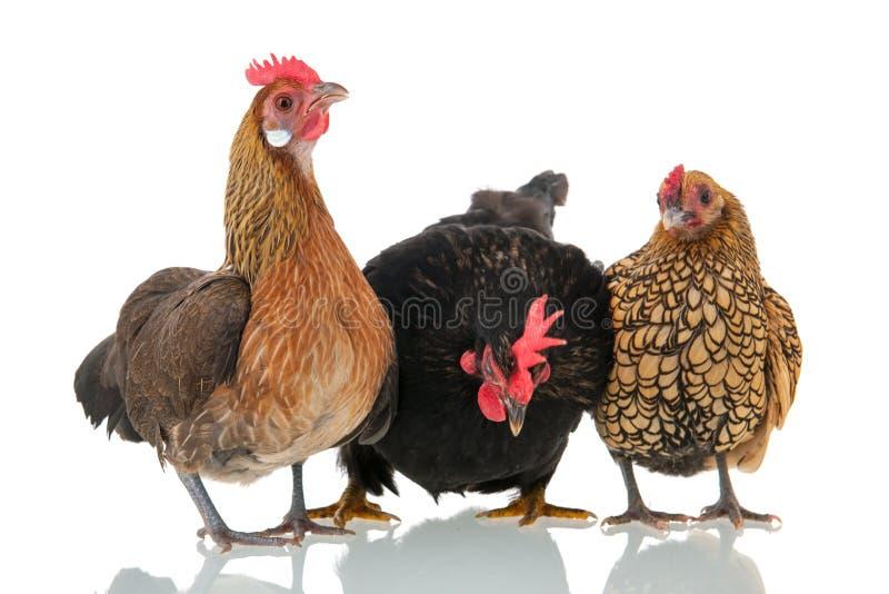 Κοτόπουλα που απομονώνονται πέρα από το άσπρο υπόβαθρο στοκ εικόνα με δικαίωμα ελεύθερης χρήσης