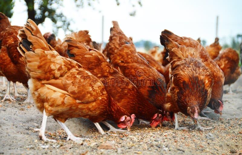 Κοτόπουλα στο παραδοσιακό ελεύθερο φάρμα πουλερικών σειράς στοκ φωτογραφία με δικαίωμα ελεύθερης χρήσης