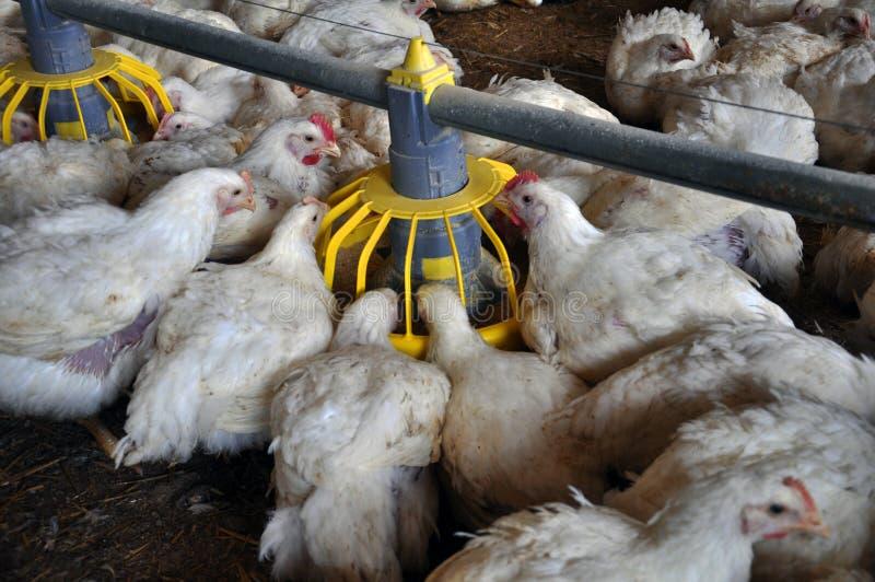 Κοτόπουλα σχαρών κοντά σε feeders_9 στοκ εικόνα με δικαίωμα ελεύθερης χρήσης