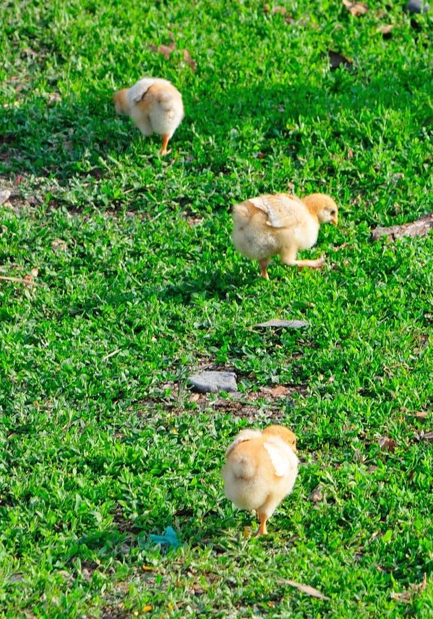 κοτόπουλα τρία στοκ εικόνες