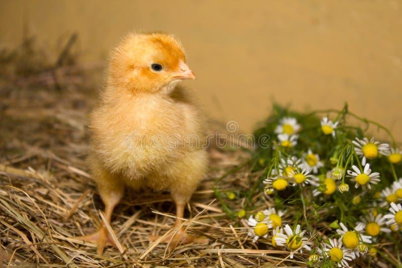 Κοτόπουλο και μαργαρίτες στοκ φωτογραφία με δικαίωμα ελεύθερης χρήσης