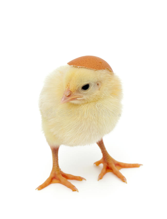 Κοτόπουλο μωρών και κοχύλι αυγών ως καπέλο στοκ εικόνες