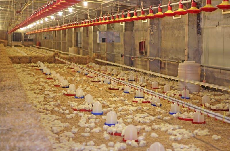 Κοτόπουλο μωρών στο αγρόκτημα στοκ φωτογραφίες