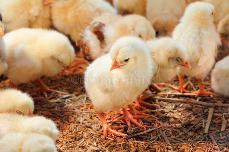 Κοτόπουλο μωρών στο φάρμα πουλερικών στοκ εικόνες με δικαίωμα ελεύθερης χρήσης