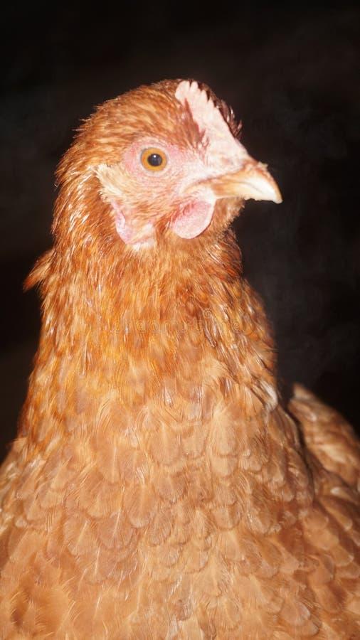 Κοτόπουλο σε μια σιταποθήκη στοκ εικόνα με δικαίωμα ελεύθερης χρήσης