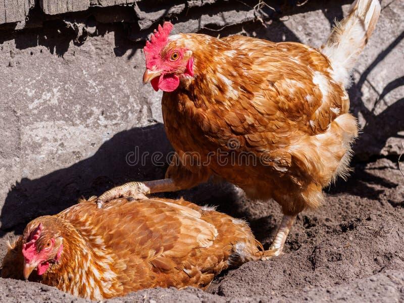Κοτόπουλο στην άμμο στοκ φωτογραφίες με δικαίωμα ελεύθερης χρήσης