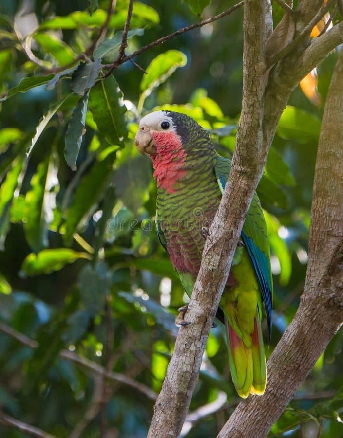 Κουβανικός παπαγάλος του Αμαζονίου στοκ φωτογραφίες με δικαίωμα ελεύθερης χρήσης
