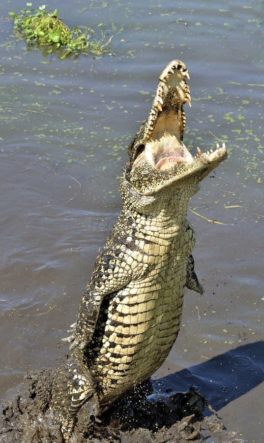 κουβανικό rhombifer crocodylus κροκοδείλων επίθεσης Κουβανικός κροκόδειλος (Crocodylus rhombifer) στοκ φωτογραφίες με δικαίωμα ελεύθερης χρήσης