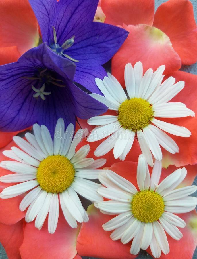 Κουδούνια μαργαριτών λουλουδιών με τα ροδαλά πέταλα στοκ εικόνες