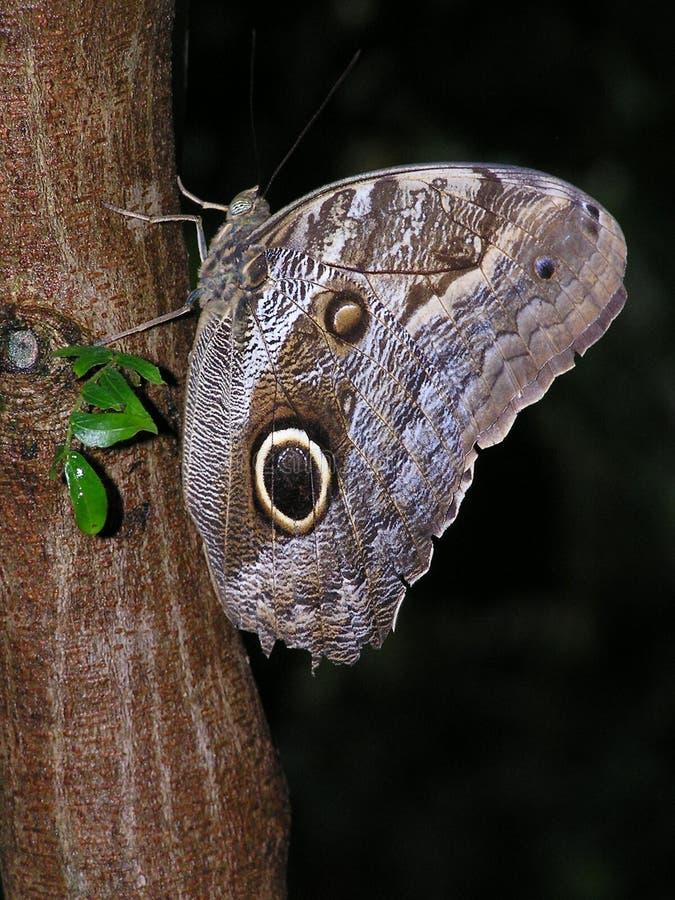 κουκουβάγια πεταλούδων καστανόξανθη στοκ εικόνες