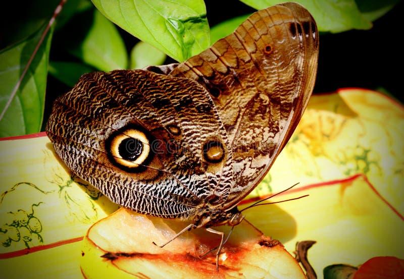 κουκουβάγια πεταλούδων στοκ φωτογραφία με δικαίωμα ελεύθερης χρήσης